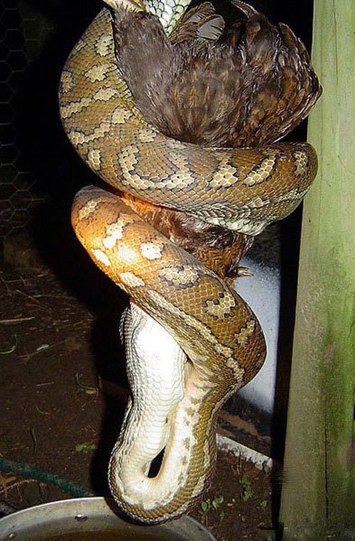 蟒蛇表演瞬间吞掉 蟒蛇表演瞬间吞美女