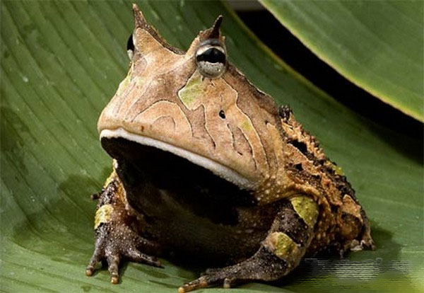 世界最奇怪的青蛙-科技频道-和讯网