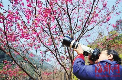 榕城郊外,樱花烂漫,引来众多摄友