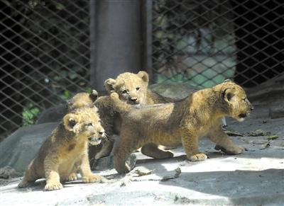 非洲狮四胞胎华南虎小宝宝亮相 想去动物园看看吗